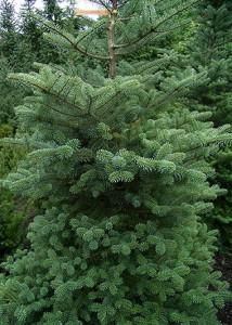 Abies-korejské