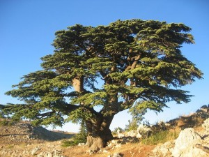 Cedar-Liban